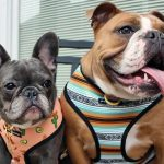 Do you know the personality and temperament of the French bulldog?